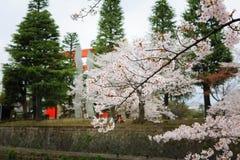 Körsbärsröd blomning och Torii Fotografering för Bildbyråer