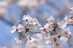 Körsbärsröd blomning på den blåa himlen Fotografering för Bildbyråer