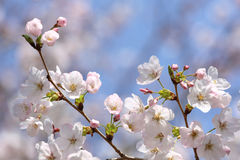 Körsbärsröd blomning på den blåa himlen Royaltyfri Fotografi