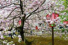 Körsbärsröd blomning på den Japan mintkaramellen, Osaka Royaltyfri Fotografi