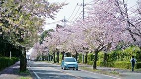 Körsbärsröd blomning på gatan var folk som tycker om sakura träd stock video