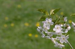 Körsbärsröd blomning på gräsplan Royaltyfria Bilder