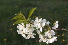 Körsbärsröd blomning på gräsplan Royaltyfria Foton
