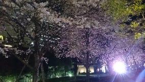 Körsbärsröd blomning på natten arkivbilder