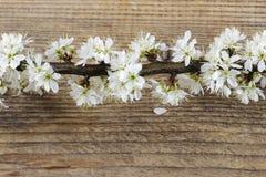 Körsbärsröd blomning på träbakgrund Arkivfoton