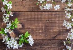 Körsbärsröd blomning på träbakgrund Arkivbilder
