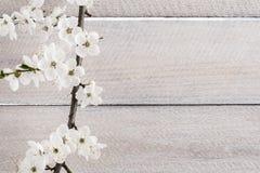 Körsbärsröd blomning på träbakgrund Royaltyfri Fotografi