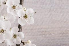 Körsbärsröd blomning på träbakgrund Arkivfoto