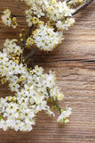 Körsbärsröd blomning på träbakgrund Royaltyfria Foton
