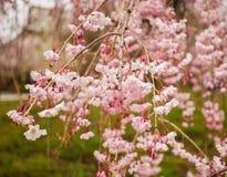 Körsbärsröd blomning på trädgården i Kyoto, Japan royaltyfria foton
