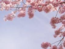 Körsbärsröd blomning på våren Arkivbilder