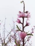 Körsbärsröd blomning på vit himmel arkivbilder