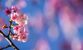 Körsbärsröd blomning, rosa sakura blomma med trevlig bulehimmelfärg arkivfoto