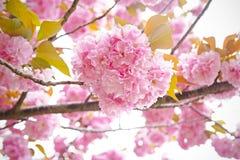 Körsbärsröd blomning, sakura Arkivbild