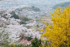Körsbärsröd blomning, Sakura i Japanse som blommar mycket under vår s Royaltyfria Foton