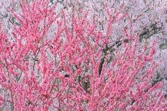 Körsbärsröd blomning, Sakura i Japanse som blommar mycket under vår s Arkivfoton