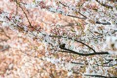 Körsbärsröd blomning (Sakura) och fågel i trädgård Royaltyfria Bilder