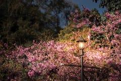 Körsbärsröd blomning thai sakura i natten Royaltyfria Bilder