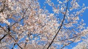 Körsbärsröd blomning under våren stock video