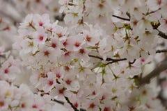 Körsbärsröd blomning upp slut Arkivfoton