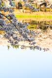 Körsbärsröd blomningsäsong Royaltyfri Fotografi