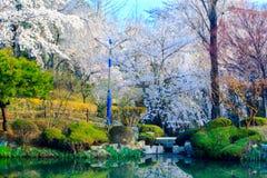 Körsbärsröd blomningsäsong i korea Arkivbilder