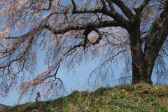 Körsbärsröd blossom&jizo Royaltyfri Fotografi