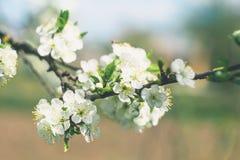 Körsbärsröd filial med vita blommor i vårträdgård arkivfoto