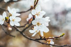Körsbärsröd filial med vita blommor på en mörk bakgrund, tidig spr Arkivfoto