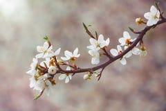 Körsbärsröd filial med vita blommor på en mörk bakgrund, tidig spr Royaltyfri Fotografi
