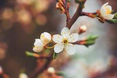 Körsbärsröd filial med vita blommor på en mörk bakgrund, tidig spr Arkivfoton
