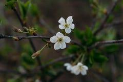 Körsbärsröd filial med vita blommor som blommar i tidig vår i trädgården körsbärsröd filial med blommor, tidig vår Royaltyfria Bilder