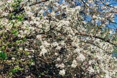 Körsbärsröd filial med vita blommor som blommar i tidig vår i trädgården körsbärsröd filial med blommor, tidig vår Royaltyfria Foton