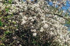 Körsbärsröd filial med vita blommor som blommar i tidig vår i trädgården körsbärsröd filial med blommor, tidig vår Arkivbild