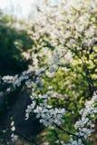 Körsbärsröd filial med vita blommor som blommar i tidig vår i trädgården körsbärsröd filial med blommor, tidig vår Royaltyfri Fotografi