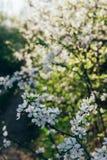 Körsbärsröd filial med vita blommor som blommar i tidig vår i trädgården körsbärsröd filial med blommor, tidig vår Arkivbilder