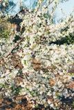 Körsbärsröd filial med vita blommor som blommar i tidig vår i trädgården körsbärsröd filial med blommor, tidig vår Arkivfoton