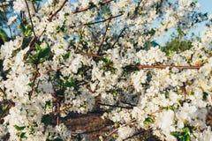 Körsbärsröd filial med vita blommor som blommar i tidig vår i trädgården körsbärsröd filial med blommor, tidig vår Arkivfoto
