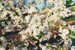 Körsbärsröd filial med vita blommor som blommar i tidig vår i trädgården körsbärsröd filial med blommor, tidig vår Royaltyfri Foto