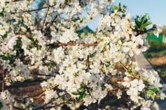 Körsbärsröd filial med vita blommor som blommar i tidig vår i trädgården körsbärsröd filial med blommor, tidig vår Fotografering för Bildbyråer