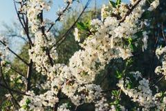 Körsbärsröd filial med vita blommor som blommar i tidig vår i trädgården körsbärsröd filial med blommor, tidig vår Royaltyfri Bild
