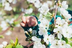 Körsbärsröd filial med vita blommor som blommar i tidig vår i trädgården körsbärsröd filial med blommor, tidig vår behandla som e Royaltyfri Fotografi
