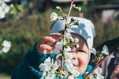 Körsbärsröd filial med vita blommor som blommar i tidig vår i trädgården körsbärsröd filial med blommor, tidig vår behandla som e Royaltyfria Bilder