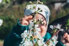 Körsbärsröd filial med vita blommor som blommar i tidig vår i trädgården körsbärsröd filial med blommor, tidig vår behandla som e Arkivfoto