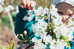 Körsbärsröd filial med vita blommor som blommar i tidig vår i trädgården körsbärsröd filial med blommor, tidig vår behandla som e Royaltyfri Bild