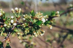 Körsbärsröd filial med vita blommor som blommar i tidig vår i trädgården körsbärsröd filial med blommor, tidig vår icke avslöjad  Fotografering för Bildbyråer