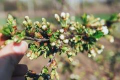 Körsbärsröd filial med vita blommor som blommar i tidig vår i trädgården körsbärsröd filial med blommor, tidig vår icke avslöjad  Arkivbild