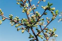 Körsbärsröd filial med vita blommor som blommar i tidig vår i trädgården körsbärsröd filial med blommor, tidig vår icke avslöjad  Royaltyfri Bild