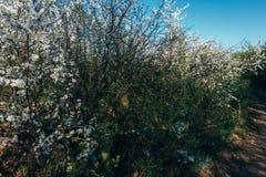 Körsbärsröd filial med vita blommor som blommar i tidig vår i trädgården körsbärsröd filial med blommor, tidig vår lantlig väg Royaltyfria Bilder