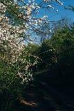 Körsbärsröd filial med vita blommor som blommar i tidig vår i trädgården körsbärsröd filial med blommor, tidig vår lantlig väg Arkivfoto